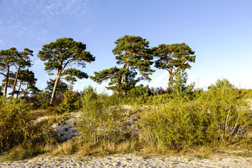 Sand dunes and pine trees