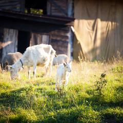 Goats chewing a grass on a farmyard/grass field