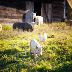 Farm animal/pig/hen/goat chewing a grass on farmyard/grass field