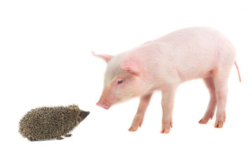 hedgehog and pig