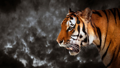 Wild tiger looking, ready to hunt, side view. Cloudy sky