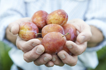 Close Up Of Man Holding Freshly Picked Plums