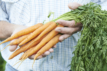 Close Up Of Man Holding Freshly Picked Carrots