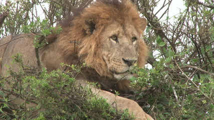 A close up of a large male lion sitting on top of a bush