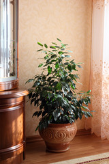 Indoor plant in the pot in interior