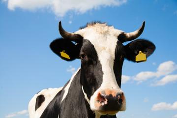 Dutch cow.