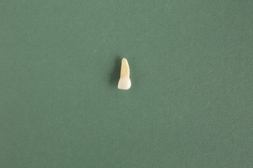 乳歯(乳中切歯)歯根模型