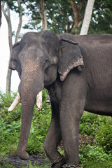 Captured asian elephant (Elephas maximus)