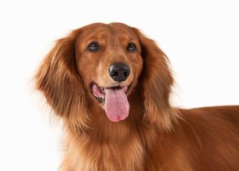 Brown dachshund on white background
