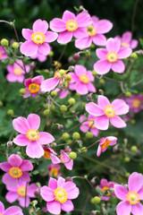 anemoni giapponese rosa_ giardino