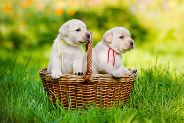 two labrador puppies in a basket