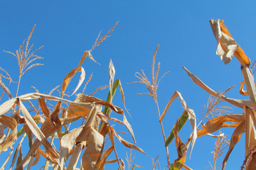 Dry corn on the field 2