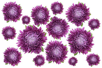 Lots asters on a white background to use as background
