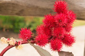 Ricinus Communis Carmencita Red