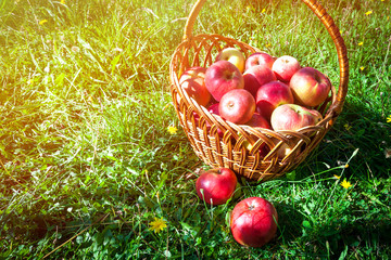 Two red apples lie on the grass in front of a basket