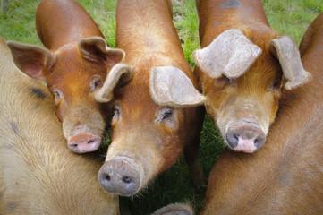 Pig farm in Highland Scotland