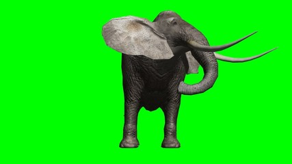 elephant looks around and attack - green screen