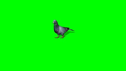 Pigeon goes - 3 different views - green screen