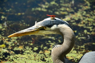 Great Blue Heron and DRAGON FLY