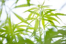 Młodych roślin konopi indyjskich, marihuana