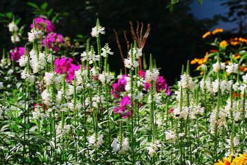 Physostegia flowers