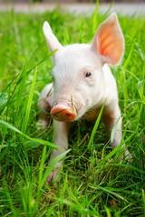 Süßes Ferkel allein im langen Gras