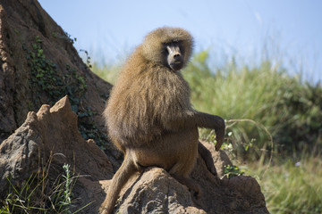 baboons on a rock