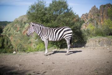 a zebra stands alone in a field