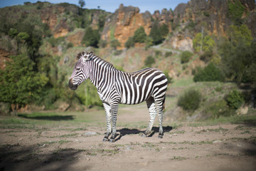 a zebra stands alone in a field
