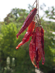 Chillies hang to dry on green outdoors background