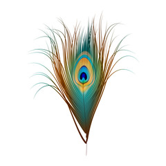 Vector Peacock Feather Isolated on White