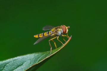 Yellow hoverfly on leaf on green background
