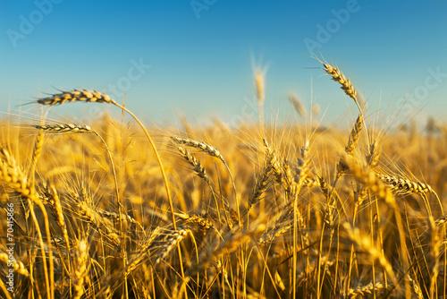 rye field - 70415866