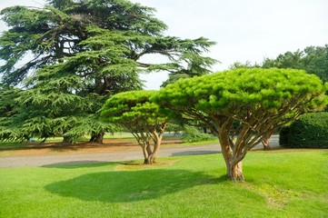 pine in the park
