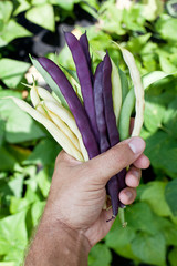 Fresh string beans in man's hand.