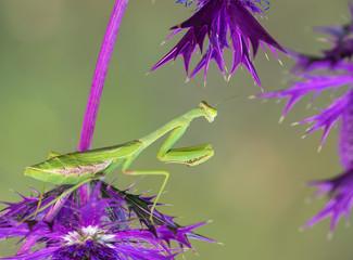 Praying mantis on purple wildflowers