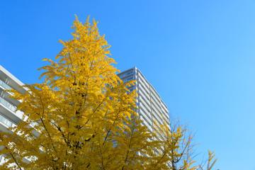 Gingko tree-lined at Hikarigaoka park in Tokyo