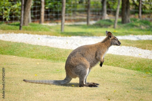 Foto op Canvas Kangoeroe wallaby