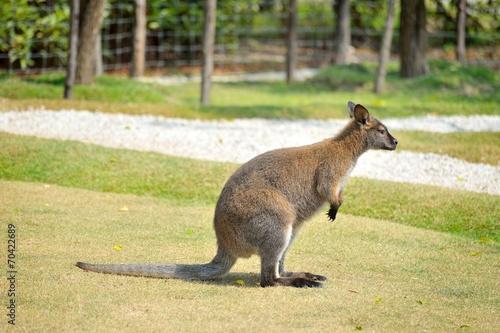 Poster Kangoeroe wallaby