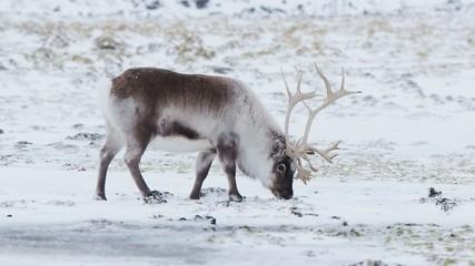 Wild reindeer feeding in tundra - Arctic, Spitsbergen