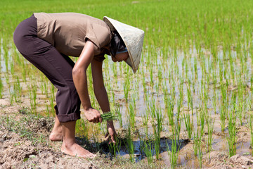 young Asian farmer in the rice field