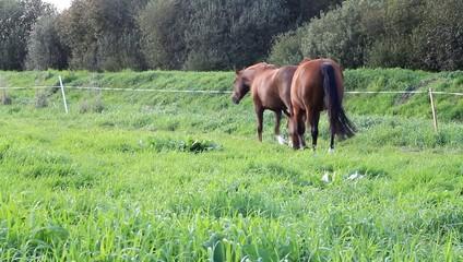 Zwei Pferde gehen im Schritt durch hohes Gras