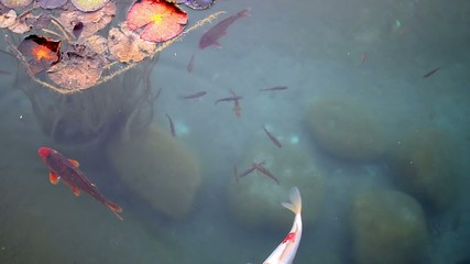 Fish and Giant Lily Pads