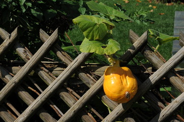 Yellow organic pumpkins growing on a wooden fence