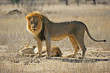 African lion pair, Kalahari desert