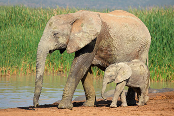 African elephant with calf, Addo Elephant National Park
