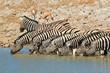 Plains Zebras drinking water, Etosha National Park