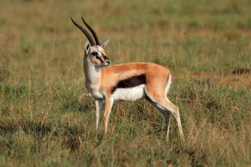 Thomsons gazelle, Lake Nakuru National Park