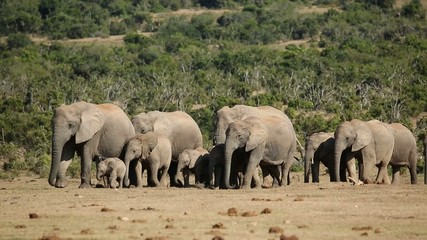 Small herd of African elephants walking in natural habitat