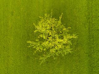 Apfelbaum auf Wiese